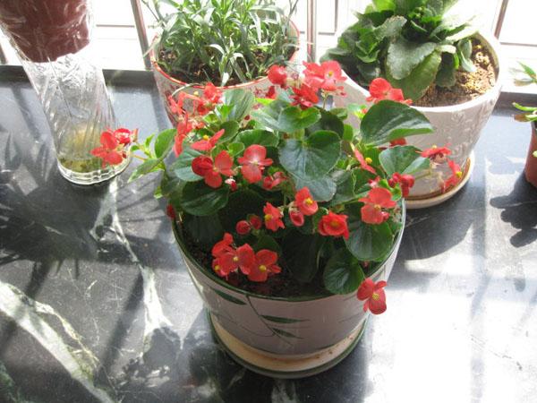 四季秋海棠花期_玻璃海棠四季均可开花-广州植物绿墙,广州园林工程,广州花木租摆
